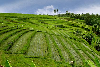 rice terraces on a hillside, Bali