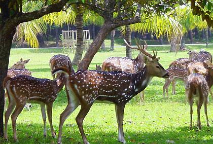 deer herd in Bogor, Java, Indonesia