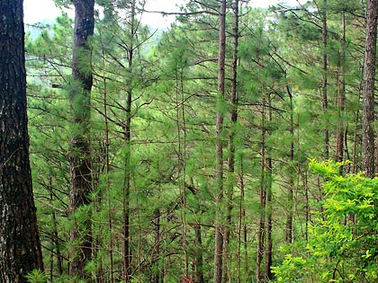 pine trees at Camp John Hay