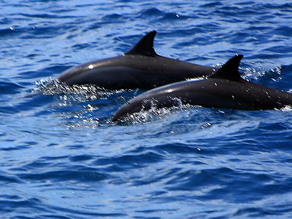 a pair of spinner dolphins at Tanon Strait
