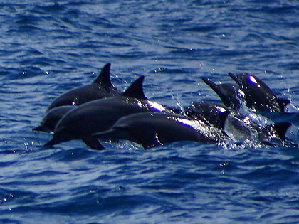 more spinner dolphins at Tañon Strait