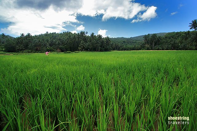 view of a rice field on the way to Dahoyhoy Falls