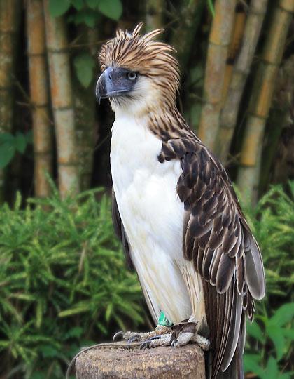 juvenile Philippine Eagle at the Philippine Eagle Center