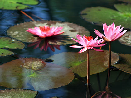 lotus flowers and plants at a fishpond