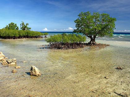 mangrove trees along Enrique Villanueva's coast
