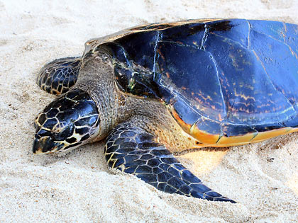 Olive Ridley sea turtle at Pawikan or Turtle Island