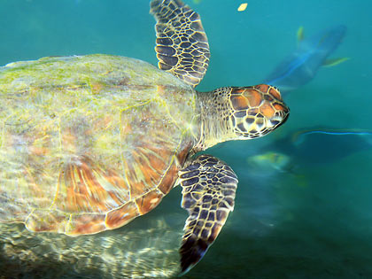 green sea turtle at Igang Marine Station
