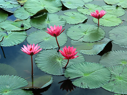 lotus flowers in full bloom, Lake Sebu