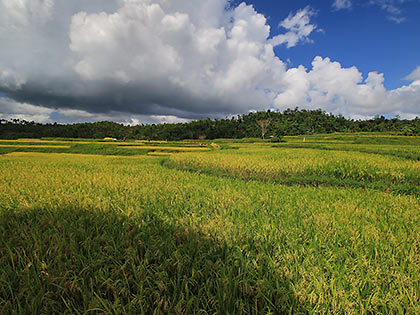 rice fields along the main road to Majayjay