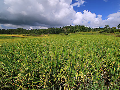 another rice field in Majayjay