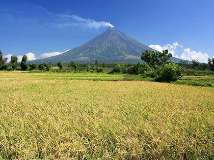 view of Mayon Volcano in Cagsawa, Daraga Albay with ripened rice stalks in the foreground