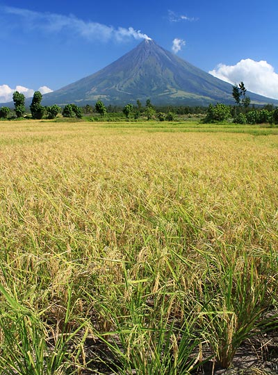 ripened stalks at a rice field with Mayon volcano in the background
