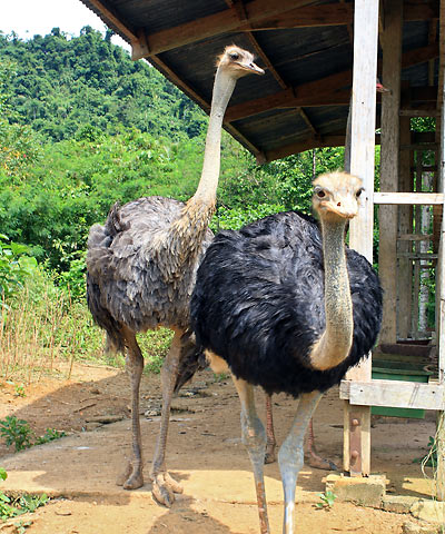 ostriches at FMC Farms, Babatngon, Leyte