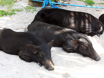 wild boars at Tikling Island